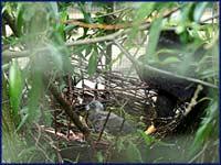 Wei�kopfadler, � Zoo