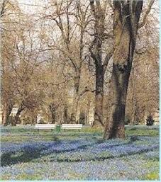 Scillablüte im Nordpark