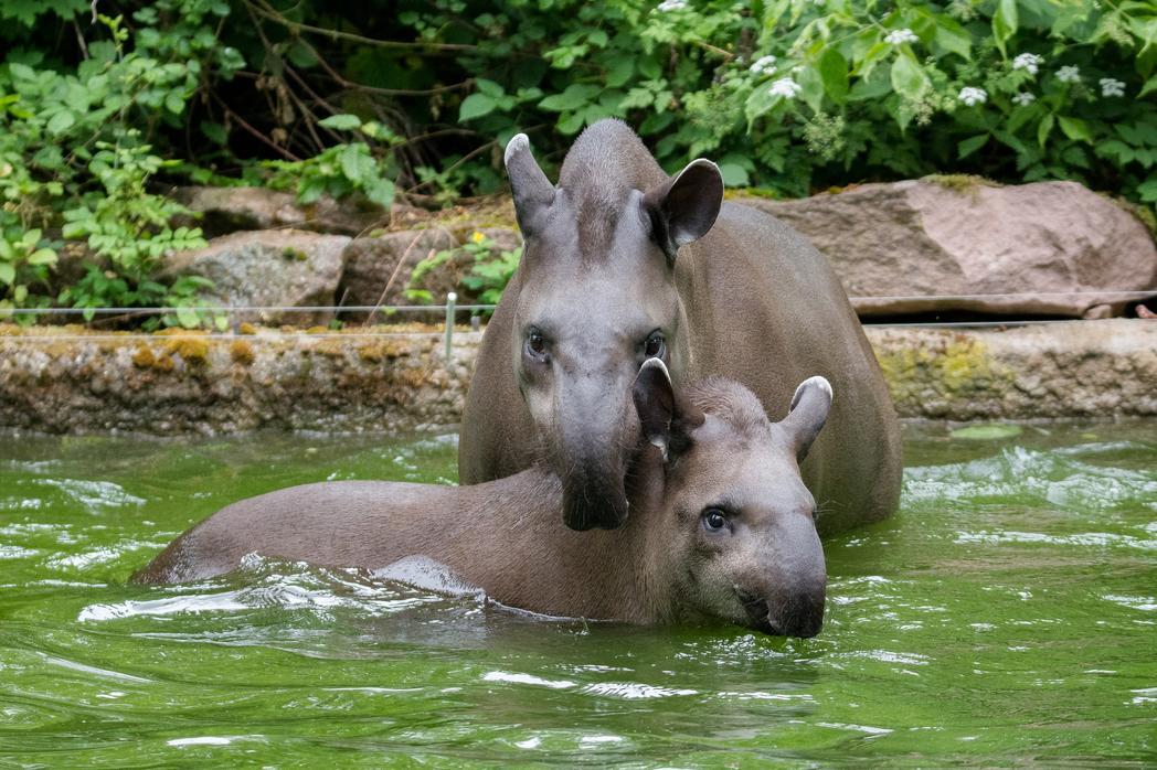 Zoo MD_Tapirebeimbaden_DaphneWinter_2